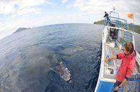 沖縄・座間味島でホエールウオッチングがピーク