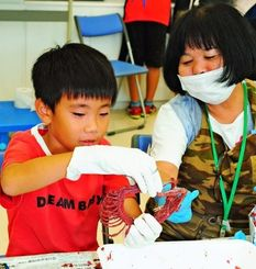 マングースの骨格標本作りに挑戦する参加者=4日午後、那覇市おもろまちの県立博物館・美術館