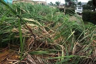 台風21号の暴風で倒れたサトウキビ=22日午前8時50分ごろ、南大東村役場近く
