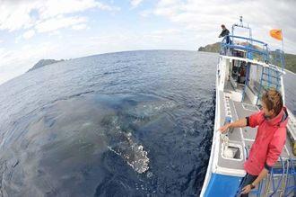 船に近寄ってきた体長約12メートルのザトウクジラ=2日午前9時、座間味島西1キロの海域(宮城清さん撮影)