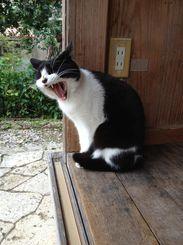 「おおあくび」2012年10月頃 首里金城町の金城村屋にて 通りかかった時に見つけ、しばらく観察