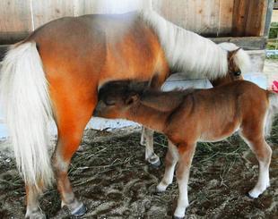 母乳を飲む生後2週間の雄のポニー(手前)=14日、うるま市石川・うるま農場