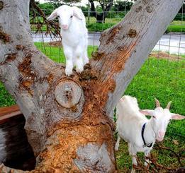 木に登って遊ぶ子ヤギ(上)と見守る母ヤギ=20日、多良間村・多良間空港