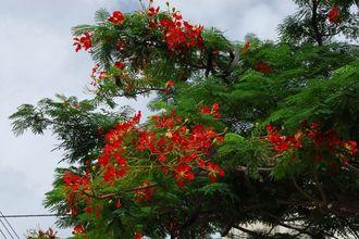 色鮮やかな朱色の花が見事なホウオウボク