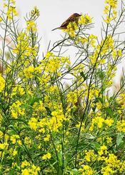 住宅地の一角に咲くカラシナ。小雨が降る中、羽を休めるスズメ=19日午後、西原町幸地(渡辺奈々撮影)
