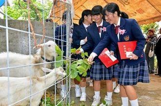 卒業式会場を出ると学校で飼育するヤギが出迎え「バイバイ」と餌をやる生徒たち=9日、那覇市・石嶺中