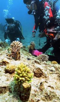 サンゴの森に思いはせ 恩納村沖で苗70本植え付け チーム美らサンゴ