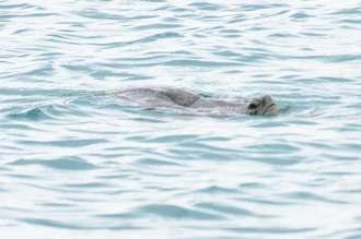 土砂投入予定地域近くで海面から顔をのぞかせたウミガメ=23日午前10時14分、名護市辺野古の米軍キャンプ・シュワブ沖