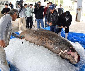 ジュゴンの大きさを測る漁協関係者=3月19日、今帰仁村・運天漁港