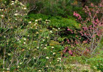 同時に開花したイジュとヒカンザクラ=うるま市石川嘉手苅・ビオスの丘