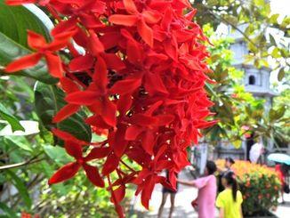 沖縄三大名花の一つ、サンダンカ(資料写真、2013年8月撮影)