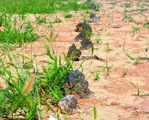 久高島で、地割制の名残をとどめた畑の石。一定の間隔で直線的に並び、誰の畑か境界線を示す。区長の西銘正博さん(65)は「昔から石は動いていない。共有地は買っても譲っても貸してもいけない」と話す。主に女性が耕し、サツマイモ、大根、スイカなどを作った。西銘照子さん(79)は那覇で働いて帰郷後、30歳ごろに畑仕事を始めた。砂地のような土壌が適したのか「特にニンジンは甘みが豊かでおいしいと言われた」と評判だった。半農半漁の夫と耕してきたが「17、18年前に出荷をやめ今は食べる分だけを作る。年を取って同じような人が増えている」。漁業や農業中心の島で、会社勤めで島を出ていく子どもたちが継がなければ「先祖代々の畑でも区に返す。時代の流れだと思う」と話す=7月10日、南城市知念久高