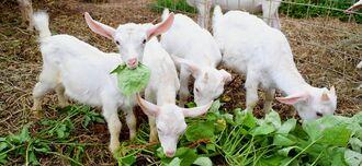 おいしそうに餌を頬張る四つ子の子ヤギ=8月29日、伊江村川平