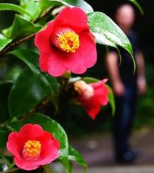 鮮やかな赤い花を咲かせたツバキ=14日、那覇市・末吉公園(金城健太撮影)