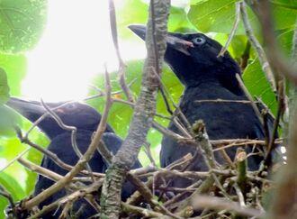 親鳥が餌を持って来るのを待っている2羽のカラスの幼鳥=8日、名護市済井出