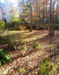 ウチナーンチュ大会、高江訪問を終えて帰宅した庭には、黄金色のモミジの落ち葉が積もりはじめた。띱