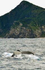 今年も慶良間海域に姿を現したザトウクジラ=座間味村座間味島から約1キロ北(宮城清さん撮影)