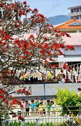 空に泳ぐこいのぼりと園児らの近くで真っ赤な花を咲かせるデイゴ=名護市宮里