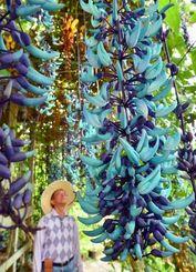 その名の通り、鮮やかなヒスイ色が美しいヒスイカズラ=31日、南城市佐敷手登根(金城健太撮影)