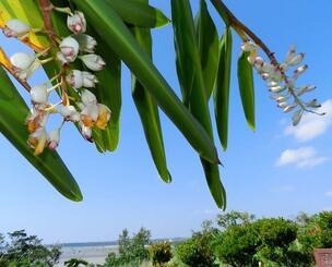 夏のような青空に映える月桃の花=2月24日、石垣市宮良