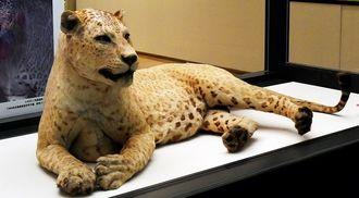 ヒョウの父とライオンの母を持つレオポン(剥製)