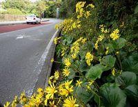 鮮やかツワブキ、ドライバーもほっこり 沖縄本島北部で見頃迎える