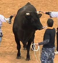 【闘牛】大一番は新鋭激突 21日に石川ドームうるま祭り