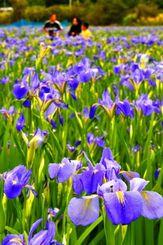 満開に咲き、見頃を迎えたオクラレルカ=4日、大宜味村喜如嘉(伊藤桃子撮影)