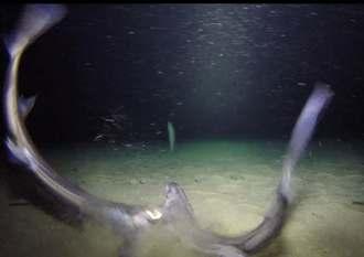 尾びれを持ち上げて体を振るヒレタカフジクジラ=9月6日、残波岬沖(沖縄美ら海水族館提供)