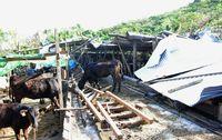 牛もストレスで食欲減 台風24号から3週間 復旧めど立たないケースも