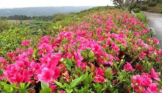 例年より開花が早まった東村・村民の森つつじ園のツツジ=14日、東村平良(下地広也撮影)