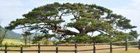 [知ってる?知ってた?伊平屋島 ふるさと元気応援企画](1)/念頭平松/樹齢280年 島のシンボル/人々集う場 保全に力