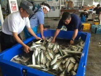 グルクマの出荷準備に追われる漁師=14日、読谷村都屋漁港