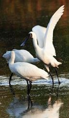 夕暮れ時の野鳥が集まる通称「三角池」で羽ばたくクロツラヘラサギ=7日午後5時ごろ、豊見城市与根(松田興平撮影)