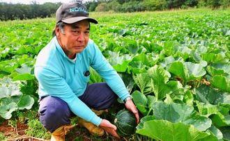 南大東村で今春、780トンの生産が見込まれるカボチャ。収穫期を前に、実を手にする農家の屋嘉比康雄さん=2日、南大東村池之沢