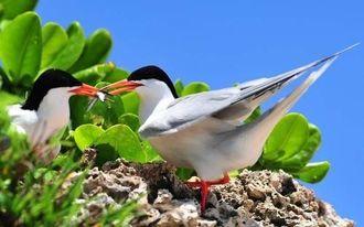 抱卵中のベニアジサシの親鳥(資料写真)