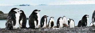 「かーわいい」。上陸したツアー客をなごませたヒゲペンギンの群れ=23日、南極・サウスシェトランド諸島のアイチョー島