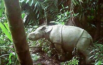 インドネシア・ジャワ島ウジュンクロン国立公園内で確認されたジャワサイの雌の赤ちゃん=3月(環境・林業省提供・共同)