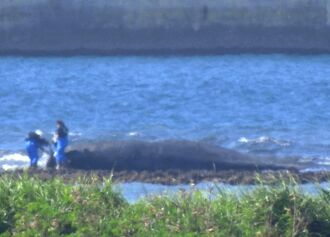 打ち上げられたクジラの死骸を調べる関係者ら=27日、那覇空港の連絡誘導路近くの浅瀬