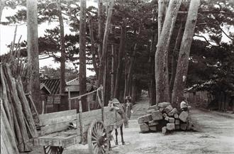 戦前に普天間の景勝地として知られた宜野湾街道の松並木。1932年に国の天然記念物に指定され、人々に親しまれた。沖縄本島の南部と北部の間に位置し交通の要衝として多くの人々が行き交った。戦後は起点となっていた普天満宮周辺に商店のほか、そば屋や医者、馬車を一時的に預ける「ヤード」と呼ばれる場所などがあった。(写真は朝日新聞社提供)