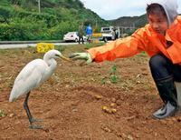 土から好物、チュウサギおねだり中 沖縄・名護の畑