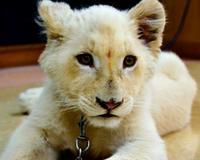 ホワイトライオンの「セラム」、堂々1位 沖縄こどもの国・動物総選挙