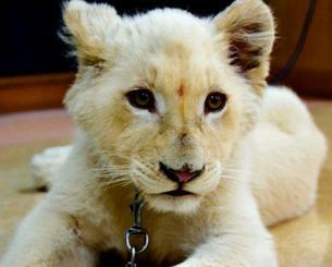 沖縄に到着してすぐに公開されたホワイトライオンのセラム=3月日、沖縄市・沖縄こどもの国