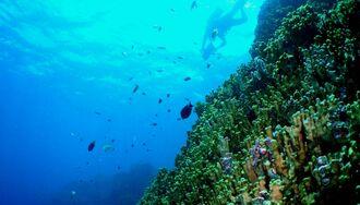 大浦湾のアオサンゴ(牧志治さん撮影、日本自然保護協会提供)