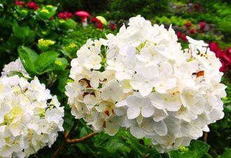 梅雨空の下、しっとりと咲き始めたあじさい=13日午後、本部町伊豆味・よへなあじさい園(松田興平撮影)