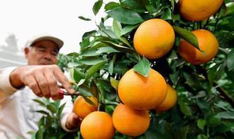 12月限定出荷のミカン「あまSUN」を収穫する農家=6日、うるま市石川山城(渡辺奈々撮影)