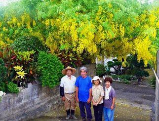 黄色い花がぶら下がるゴールデンシャワー=本部町嘉津宇