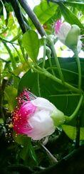 鮮やかな花を咲かせるゴバンノアシ=9日、竹富町西表島