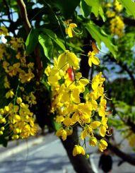 季節外れで開花したゴールデンシャワー(ナンバンサイカチ)=5日、那覇市古波蔵