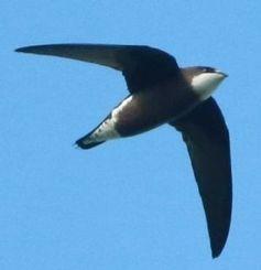 大空を悠々と飛行するハリオアマツバメ=石垣市、バンナ公園